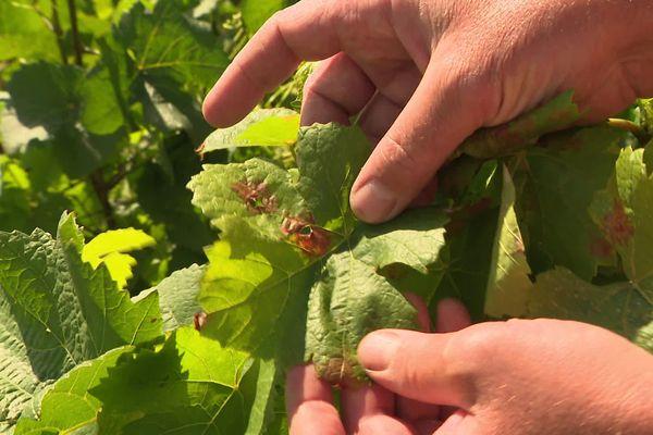 Les vignes souffrent des conditions climatiques.