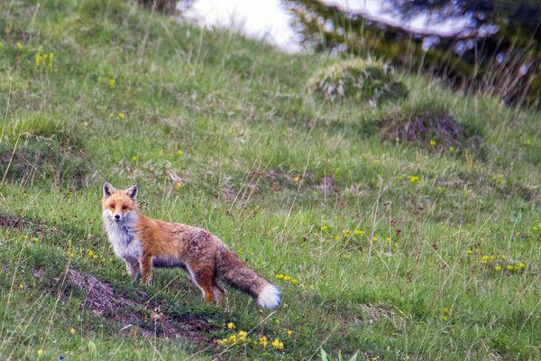 Les animaux souffrent aussi de la sécheresse. Le Centre Athénas a recueilli un renard mort de déshydratation et de faim.