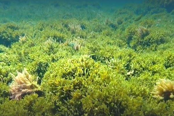 Les plongeurs de la calanque de Callelongue ont commencé à observer cette espèce invasive dès 2019