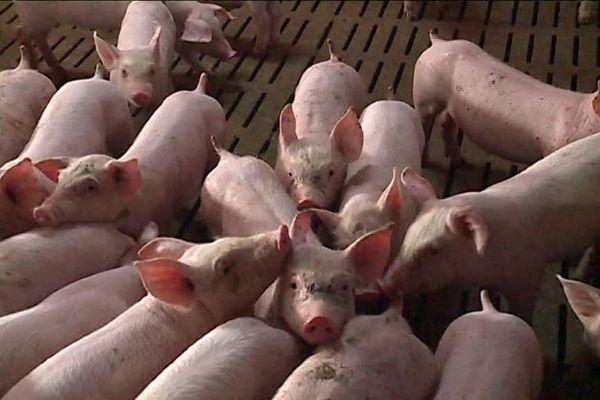 6500 cochons seront en permanence à Escoubès et 17 000 par an passeront par l'exploitation.