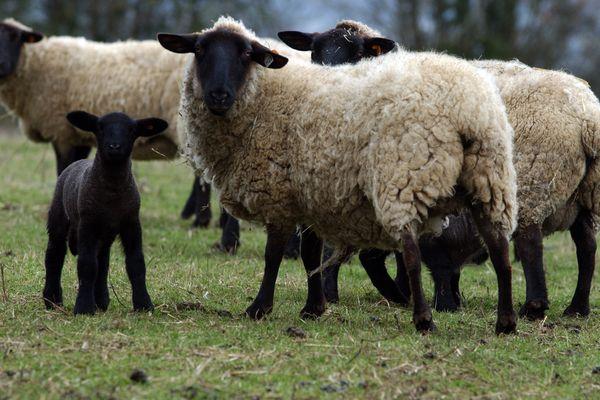 Un collectif de bergers organise des pâturages itinérants 0 La Courneuve tout l'été