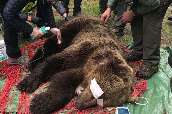 L'ours Cachou avait été capturé en mai 2019 pour l'équiper d'un collier GPS. C'est grâce à ce traçage que les Catalans se sont rendus compte qu'il ne bougeait plus, et l'ont retrouvé mort en avril 2020.