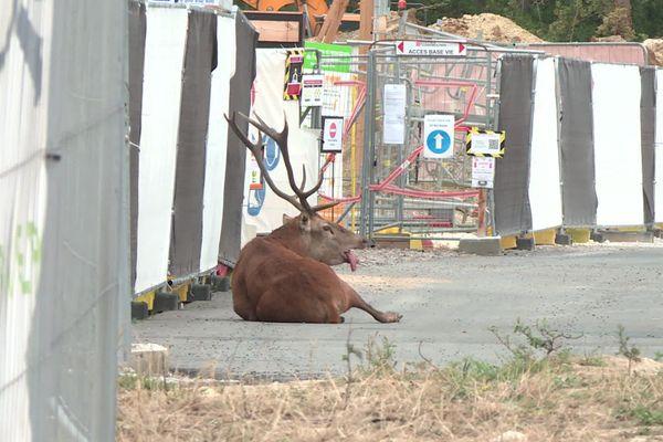 Traqué par l'équipage de La Futaie des Amis, le cerf s'était réfugié dans une zone en construction de Compiègne, samedi 19 septembre.