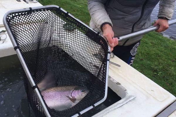 Des truites de belle taille lâchées au lac de St Estèphe pour une opération séduction auprès des pêcheurs