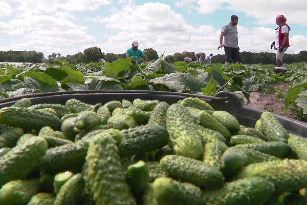 Olivier Corbin produit 100 tonnes de cornichons par an sur son exploitation en Sarthe