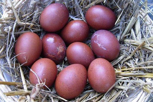 La couleur exceptionnelle des œufs de la poule de Marans