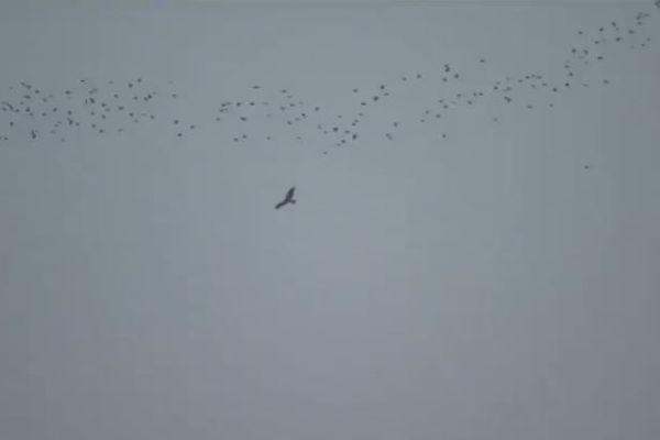 Un Milan royal accompagne un vol de palombes dans le ciel béarnais