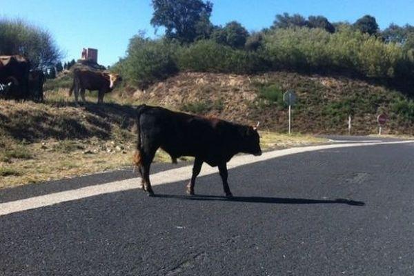 Plusieurs vaches errent au bord et sur les routes du massif des Albères, ici la D71 - septembre 2015