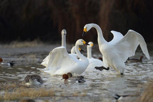 Les cygnes de Bewick seraient entre 250 et 300 aux abords du lac du Der