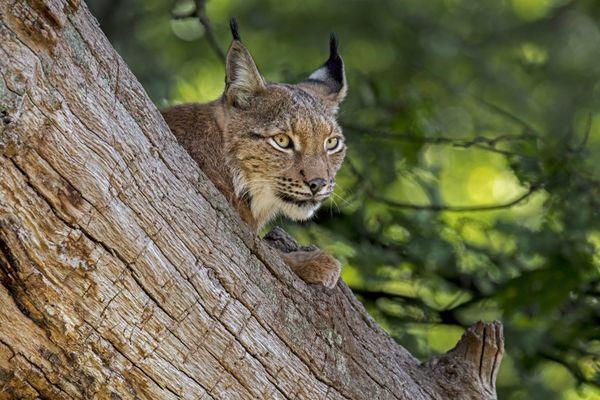 """C'est pour sensibiliser au sort des lynx que l'association FERUS organise son programme """"Parole de lynx""""."""