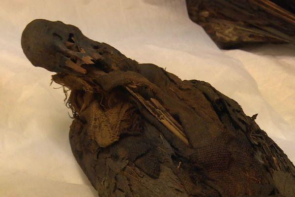 Une momie d'ibis partiellement démaillotée pour les besoins de l'étude
