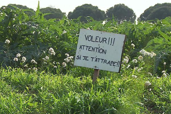 Les vols d'artichauts se multiplient au moment de la récolte dans les Pyrénées-Orientales - archives.