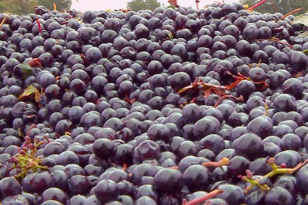 La vendange du rouge en bergeracois marquée par une nette augmentation des cultures bio