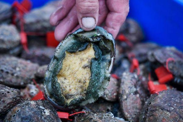 Les ormeaux pêchés doivent être d'au moins 9 cm de diamètre, taille minimum autorisée
