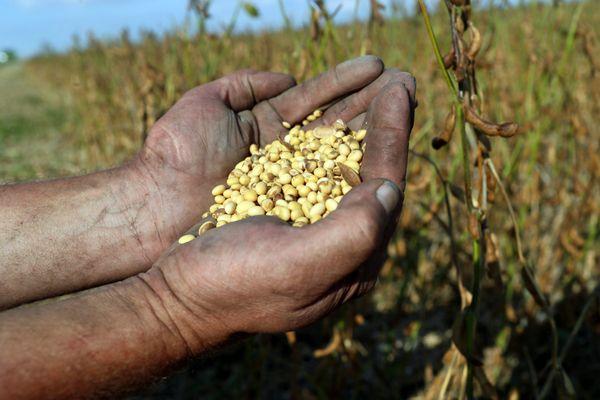 Un agriculteur tient dans ses mains des graines de soja - Photo d'illustration