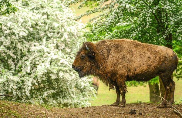 Les bisons partagent la vedette avec des loups. Le parc animalier est implanté juste en lisière de la forêt d'Eawy en Seine-Maritime (76).