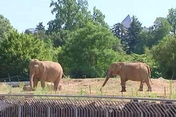 """Baby et Népal ... les deux éléphantes très """"médiatisées"""" du parc zoologique de la Tête d'Or, ont quitté leur enclos pour une propriété de la famille Grimaldi. (photo juillet 2013)"""