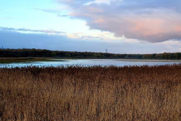 La roselière constitue un cordon quasi infranchissable tout autour de l'étang de la Horre, dans l'Aube.