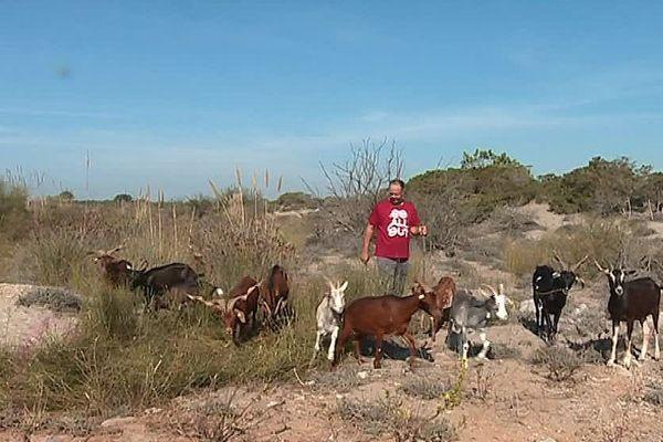 Des chèvres et des brebis pour entretenir le cordon dunaire de l'Espiguette.