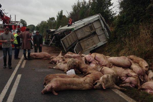 Après l'accident, les cochons ont été rassemblés puis pris en charge par un équarisseur.