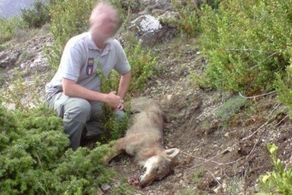 Une louve a été abattue en septembre dernier dans les Alpes-de-Haute-Provence en exécution d'un arrêté de prélèvement afin d'assurer la protection des troupeaux domestiques dans le massif des Monges.
