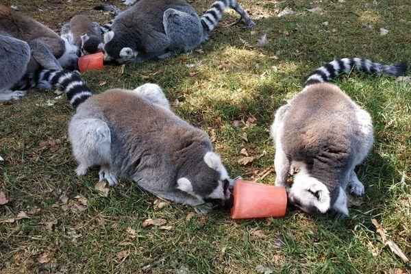 Pour hydrater les animaux, rien de mieux qu'une glace préparée par les soigneurs