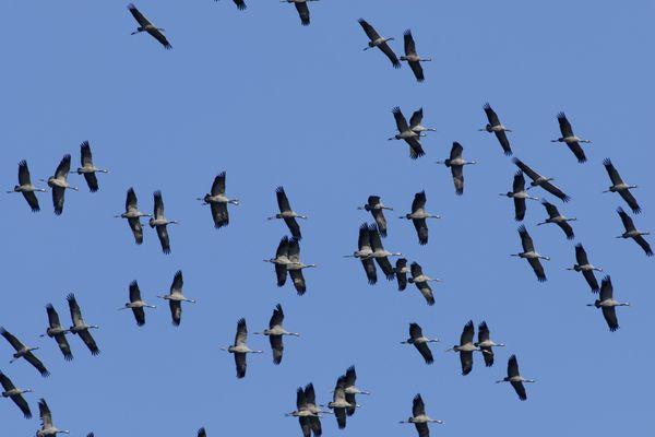 Un vol de grues cendrées, entre jour et nuit...