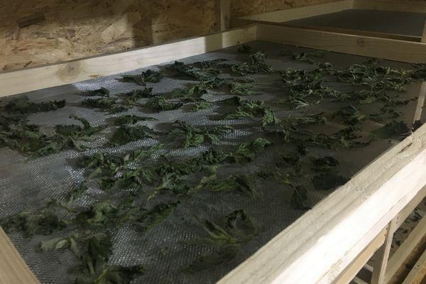 Ces plantes, cultivées en début d'année, sont déjà mises à sécher pour les futures préparations.