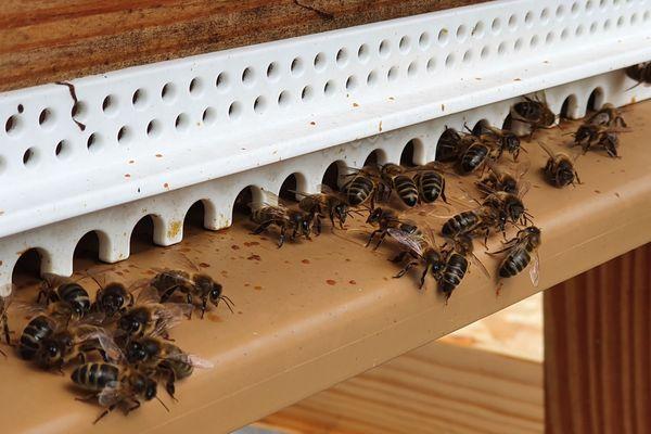 Les abeilles noires de Normandie