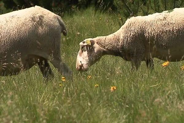 Mont Lozère - un troupeau de brebis a été attaqué par des loups - juillet 2019