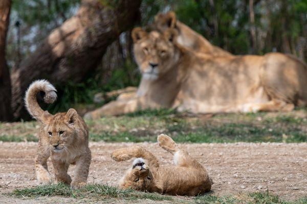 Tahassi et Tiwanga sont deux petites lionnes nées le 30 novembre 2020 au cœur de la Réserve africaine de Sigean, dans l'Aude.