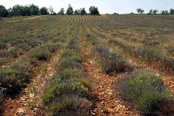 La production de lavande est fortement impactée par les épisodes de sécheresse à répétition dans le département du Vaucluse, où 11 communes sont reconnues en état de catastrophe naturelle