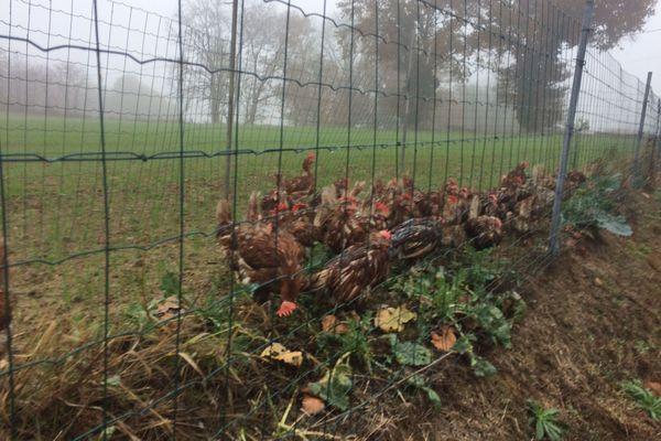 Quelques dizaines de poules rescapées de l'incendie