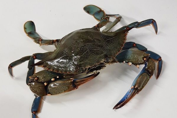 Le crabe bleu, aussi joli que sa chair est savoureuse, peut devenir aussi gros qu'un tourteau lorsqu'il atteint sa taille adulte.