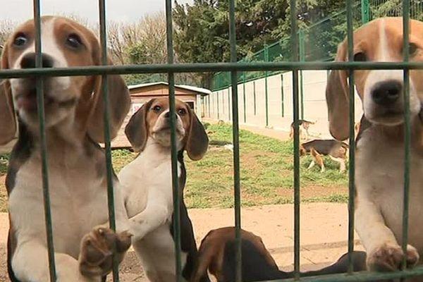 Chiots Beagles mis à l'adoption