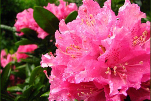 Rhododendron sous la pluie...