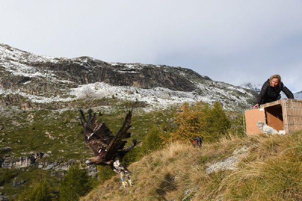 L'instant où l'aigle s'est envolé mercredi 7 octobre à Sainte-Foy Tarentaise en Savoie.