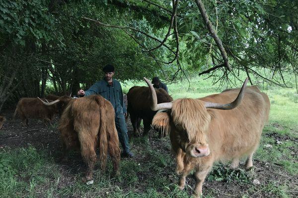 Victor Gabilleau et ses boeufs Highland dans la Vallée de la Cisse