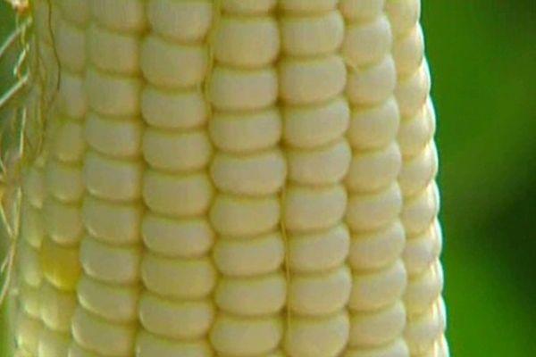 Au coeur du débat sur les OGM