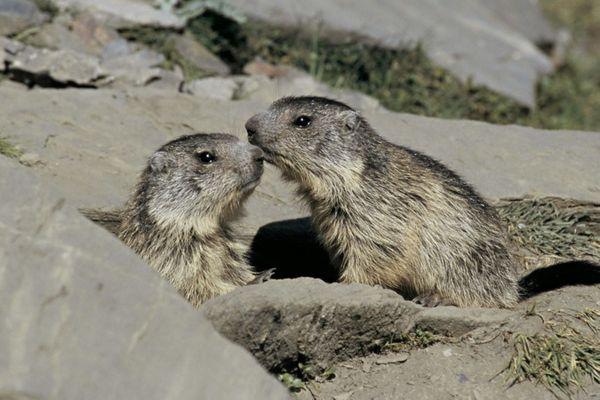 Les marmottes se reniflent les joues. Les glandes distribuent les odeurs des individus pour se reconnaître.
