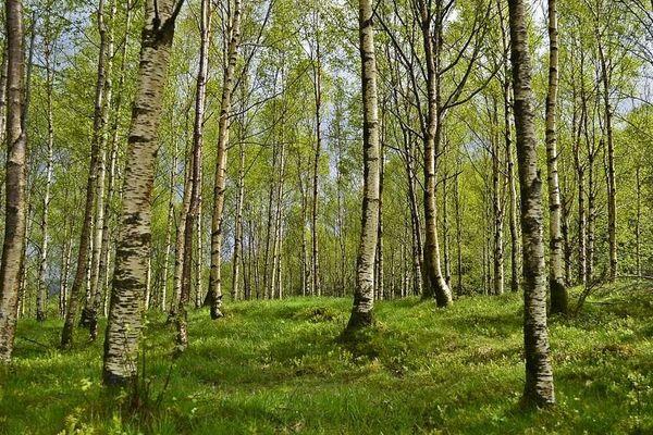 Une forêt de bouleaux