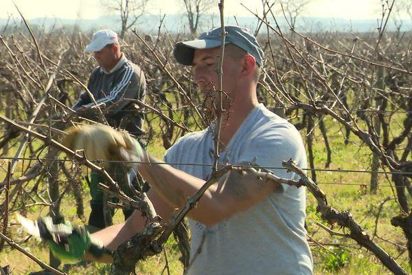Dans les vignes du cognaçais, les ouvriers roumains procèdent à la taille malgré le confinement