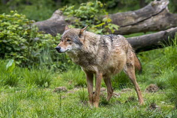 Un loup gris a été aperçu dans l'Indre pour la première fois.
