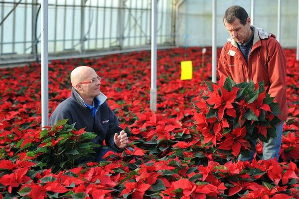 Les Ponts-de-Cé (49) : Damien Chevrollier, directeur général de Gaignard Fleurs pose avec un horticulteur dans une serre dédiée au poinsettia