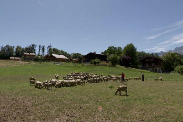 C'est la première fois, depuis 60 ans, que ces éleveurs de Passy rapatrient leur troupeau dans la vallée et renoncent à les laisser en alpage