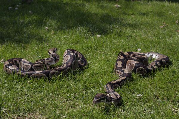A l'âge adulte, les pythons royaux peuvent atteindre 120 cm. Non venimeux, ils ne sont pas dangereux. Ils n'attaquent pas l'homme, car c'est une trop grosse proie.