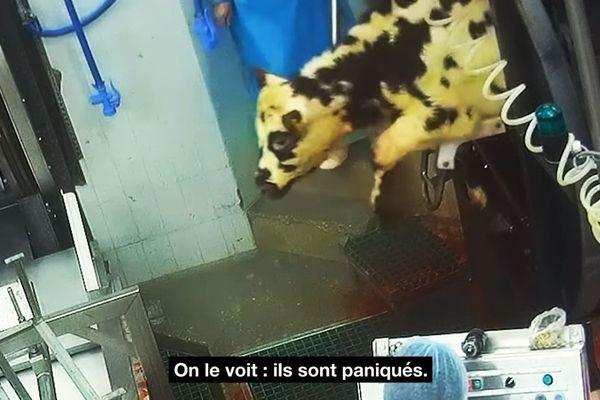 les images-choc de l'abattoir SOBEVAL de Boulazac (24) diffusées par l'association L214