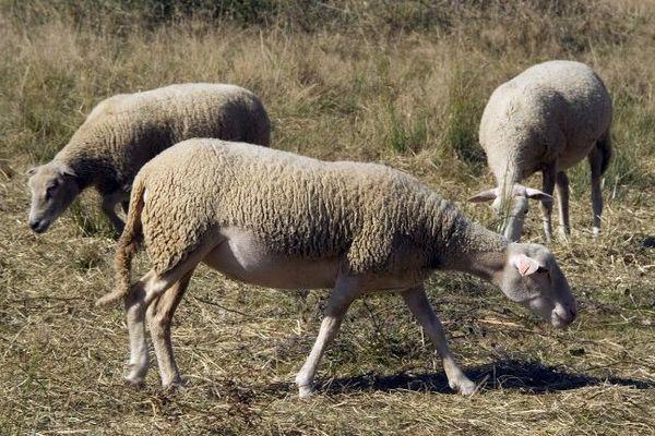 Moutons dans un pré (Archives)