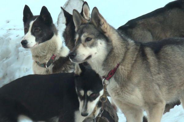 Des dizaines de chiens de traineaux traversent les Pyrénées occitans en équipage.