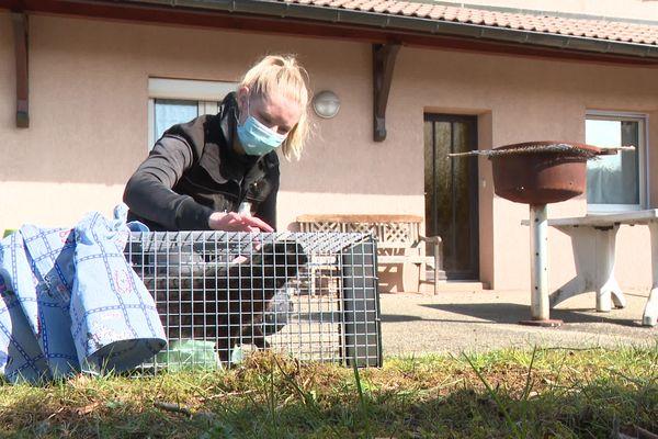 Julie Vernoux, agent animalier, s'apprête à relâcher une chatte après stérilisation.